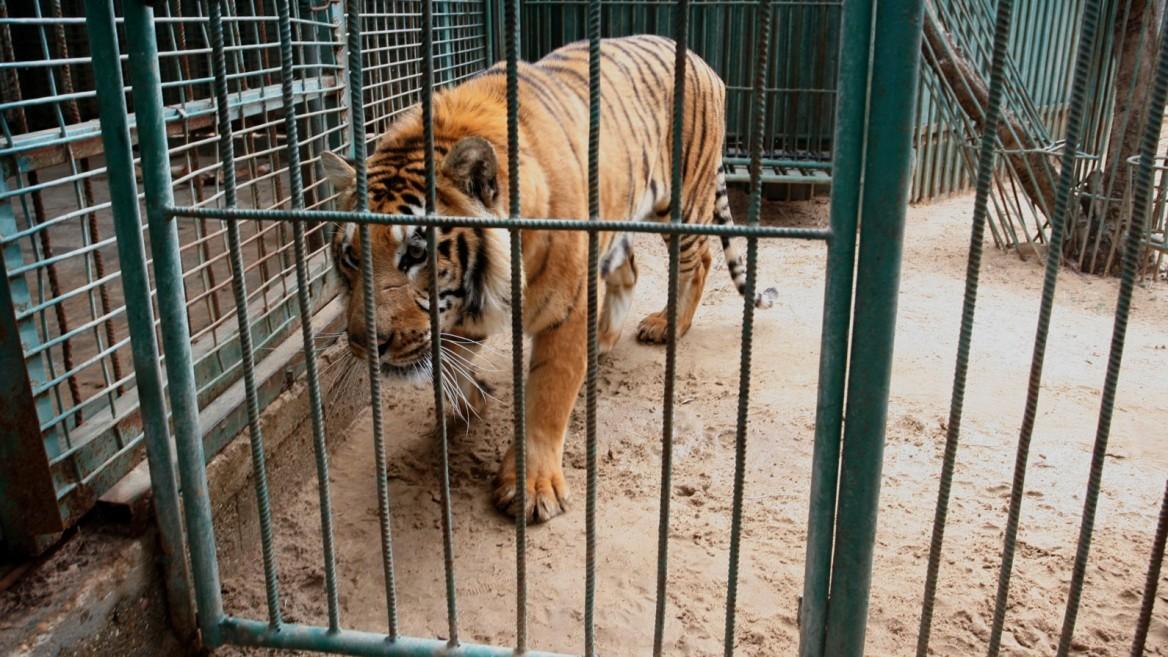 South American tiger in a Gaza zoo. Photo by Abed Rahim Khatib/Flash90