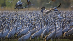 Migrating birds at Hula Valley. Photo by Flash90