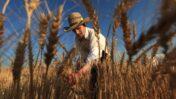 Harvesting wheat in Modi'in. Photo by Nati Shohat/FLASH90