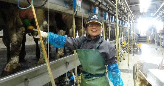 A Chinese dairy farm worker using AfiMilk equipment.