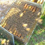 New vaccine could save bees from colony collapse disorder [Video]