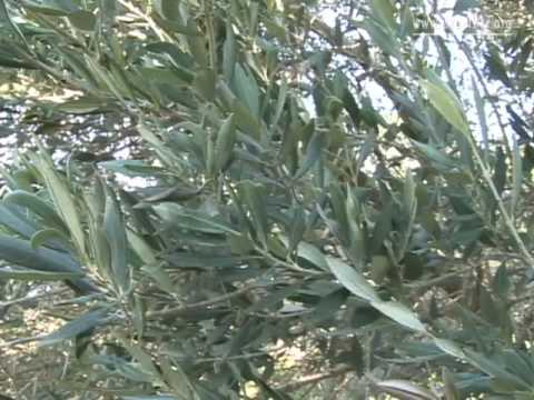 Israel's ancient trees tell their tales [Video]