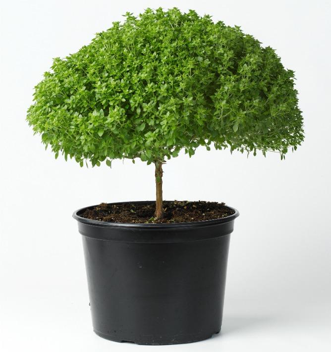 Basil tree