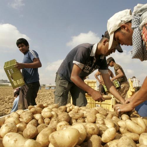 Improved Potato strains