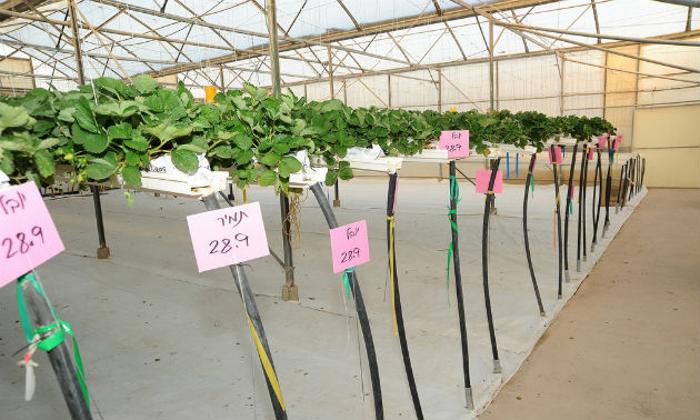 Hothouse strawberry plants at Yair Experimental Station. Photo by Eyal Izhar
