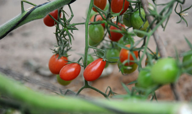 Tomatoes at Yair Experimental Station. Photo by Eyal Izhar