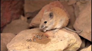 Israeli plant gets mice to spread its seeds