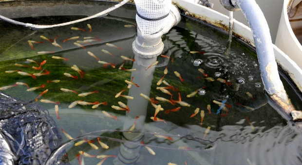 Guppies being readied for the European market.