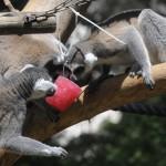 Lemurs at the Ramat Gan Safari beat the heat with popsicles.