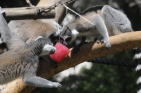 Lemurs at the Ramat Gan Safari beat the heat with popsicles.