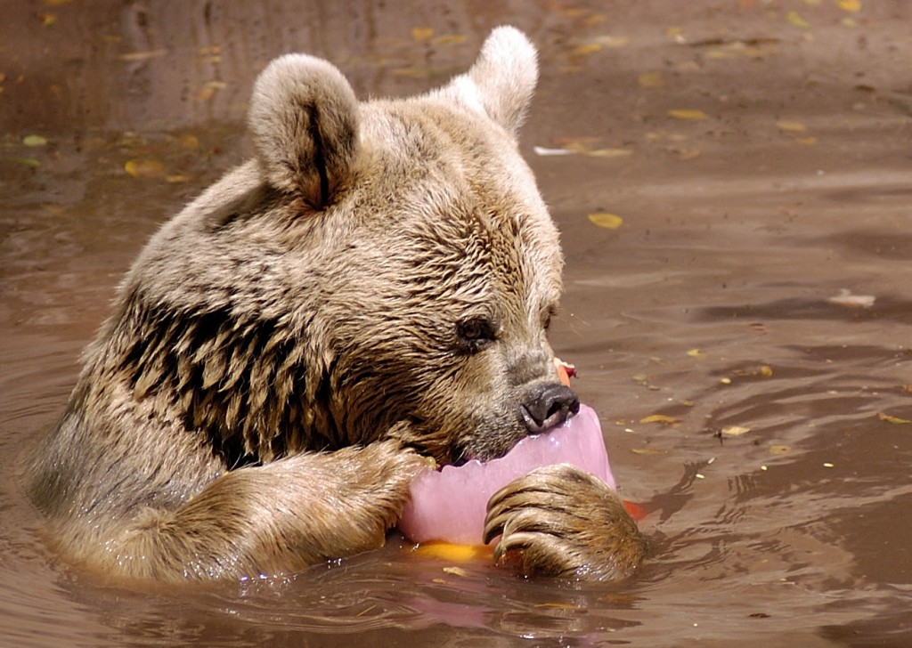 A bear licks a popsicle to cool down at the Ramat Gan Safari.
