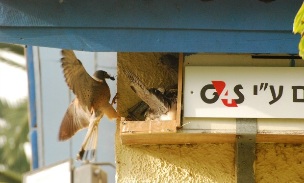 A lesser kestrel bringing breakfast for babies in a nesting box the children built with a donated video camera from security company G4S.