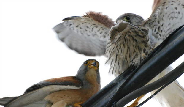 Lesser kestrels are birds of prey that love mice.