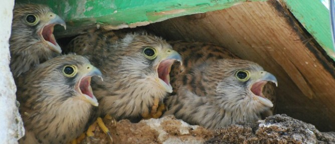 Some 29 nesting pairs in Alona are giving birth to the next generation of lesser kestrels.