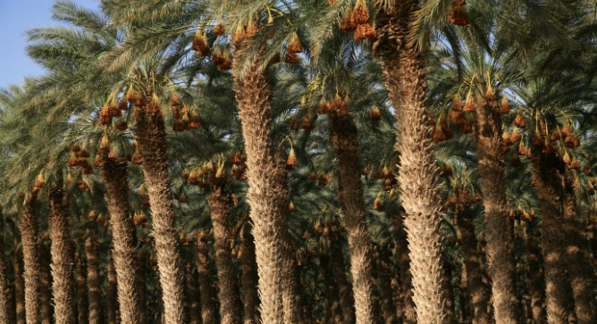Palm trees growing in the Arava desert in southern Israel. Photo by Flash90.