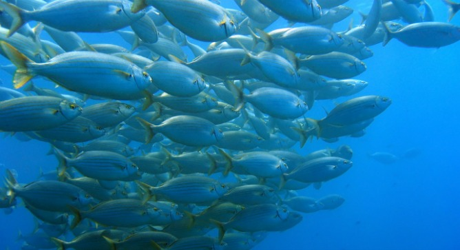 A shoal of bream fish in the Mediterranean via Shutterstock.*