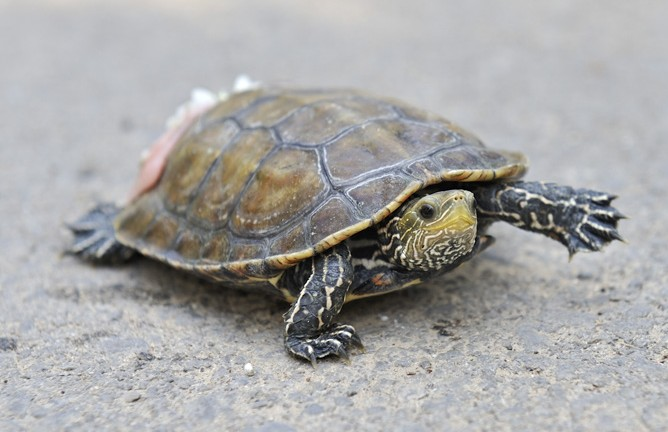 Caspian Turtle takes first steps after Israeli veterinarians fixed its shell. (Ramat Gan Safari)