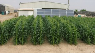 These crops are being grown with solar-energy desalinated water.
