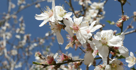 Almond-Tree-In-Bloom
