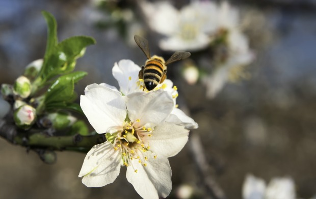The nectar of almond trees contain a substance that is harmless to honeybees but poisonous to other creatures. Photo by www.shutterstock.com