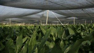 Israeli plants will be protected from bugs naturally. Photo by Chen Leopold/Flash 90