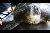 Frankie the sea turtle returns home
