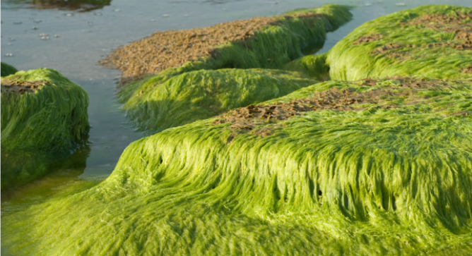 Seaweed was used in past centuries to alleviate a host of ailments. Photo by www.shutterstock.com