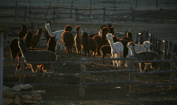 Israel's Alpaca Farm. Photo by Doron Horowitz/Flash90