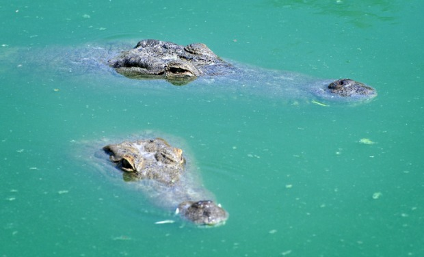 Residents of Crocoloco Crocodile Farm. Photo by Shay Levy/ Flash 90