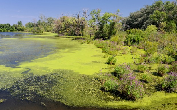 An algae bloom on a pond. Photo by www.shutterstock.com