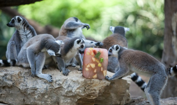 Monkeys at the Ramat Gan Safari eating a fruity treat. Photo by Uri Lenz/FLASH90