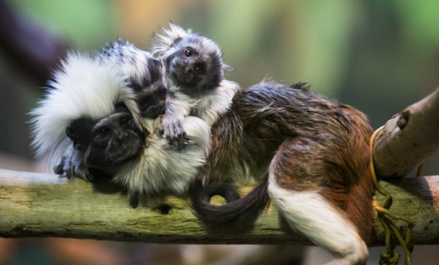 Cap: Twin cotton-top tamarins were born last July at the Biblical Zoo in Jerusalem. Tamarins are on the list of the world's 25 most endangered primates. Photo by Yonatan Sindel/Flash90