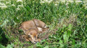 A resident gazelle takes a nap in its Jerusalem habitat. Photo by Amir Balaban