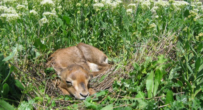 A resident gazelle takes a nap in its Jerusalem habitat. Photo by Amir Balaban