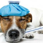 CMT gives dogs fever and in some cases can be fatal. Image via Shutterstock.com