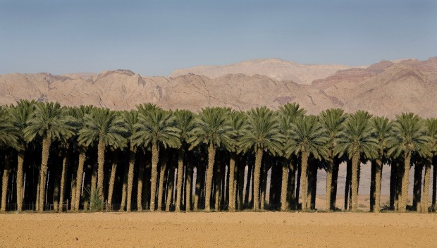Date palms growing in Israel. Photo courtesy of Hadiklaim Israeli Date Growers Cooperative