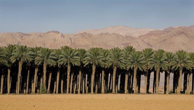 Date palms growing in Israel. Photo courtesy of Hadiklaim Israeli Date Growers Cooperative