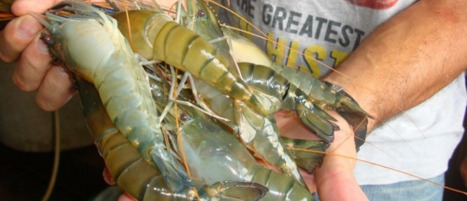 Male prawns are meaty and fast-growing.