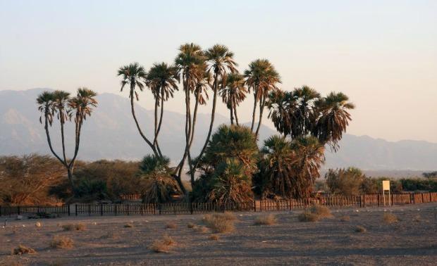 Palm Doum
