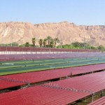 Red algae growing in the Arava.