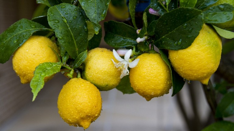 An Israeli discovery thwarts fungi from devastating and drying out lemon groves. (Shutterstock.com)