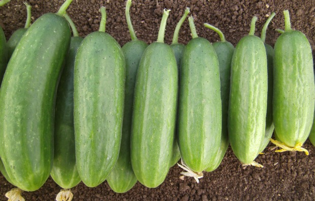 Bet Alpha cucumbers. Photo by Harry Paris