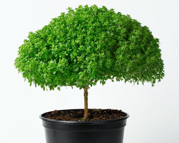 Captivating Hishtilu0027s Basil Tree Can Grow Indoors.