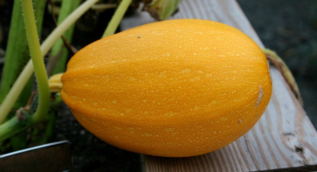 The Orangetti looks and tastes better than other spaghetti squash.