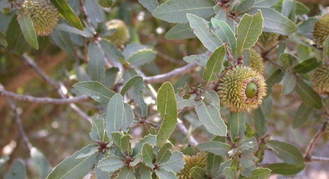 The Palestine oak is a source of powerful antibacterial substances. Photo courtesy of Wikimedia Commons.