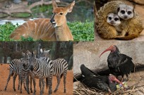 Ramat Gan Safari is sending zebras, antelopes, meerkats and ibises, among other animals, to a new home in Izmir, Turkey. (Tibor Jager)