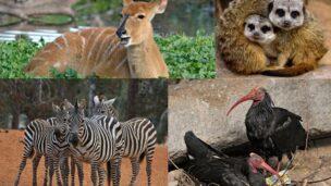 Ramat Gan Safari is sending zebras, antelopes, meerkats and ibises, among other animals, to a new home in Izmir, Turkey. (Tibor Jager)
