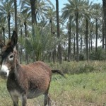 A resident donkey in Sde Eliyahu's date plantation. Photo by Abigail Klein Leichman
