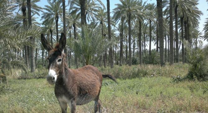 A resident donkey in Sde Eliyahu's date plantation. Photo by Abigail Klein Leichman