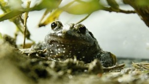 Hula painted frog